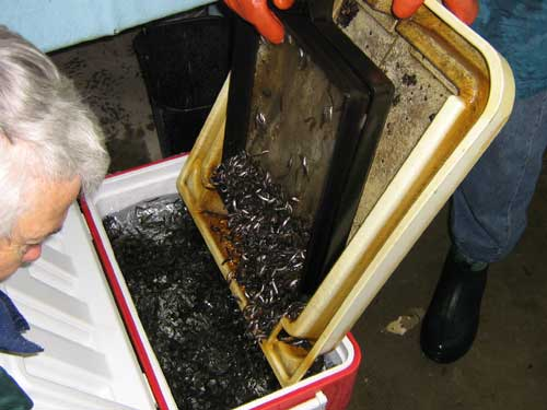 Photo of small fish being poured from a tray into an ice chest filled with water