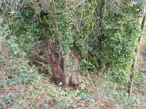 Photo of trees where ivy has been cut from the bottom of the trunk