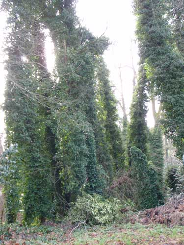 Photo of trees covered in ivy