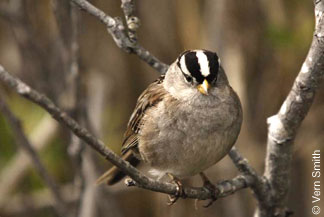 White-crowned sparrow at Brightwater