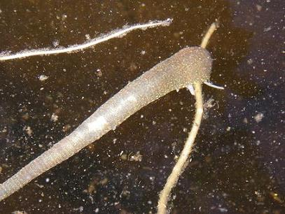 Underwater leech photo
