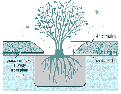Planting and Mulching diagram