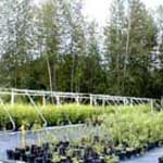 Native shrubs at the King County Greenhouse and Nursery