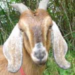 Co-host Doug Rice talks to Tammy Dunakin about what her goats like to eat