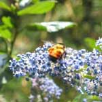 A worker bumblebee on a ceanothus bloom