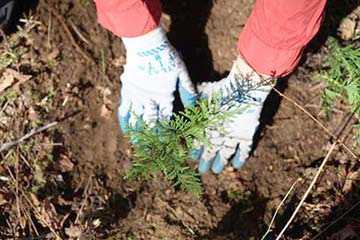 Tree Planting -  young cedar going in to ground at Soaring Eagle Park