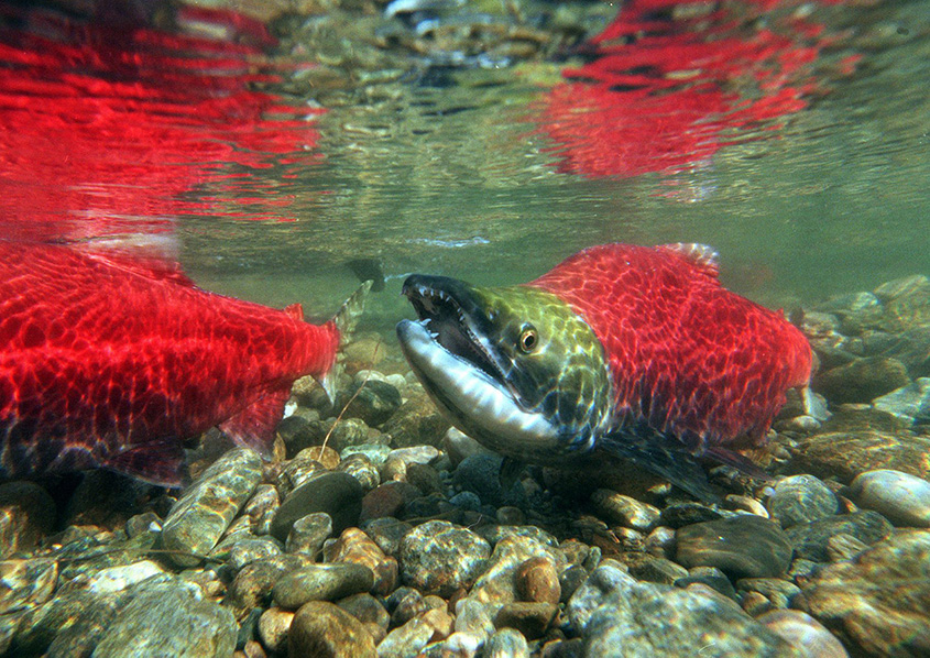Protecting salmon in our watersheds